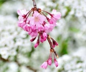 Shidarezakura blossom