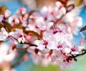 Yamazakura cherry blossom